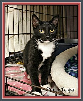 Domestic Shorthair Kitten for adoption in New Richmond,, Wisconsin - Prince Pepper