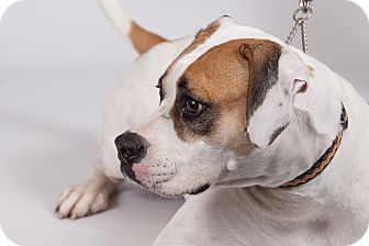 Boxer Mix Dog for adoption in Jupiter, Florida - Crystal