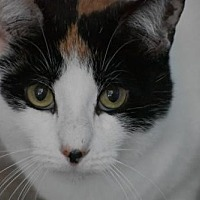Calico Cat for adoption in Devon, Pennsylvania - Hailey