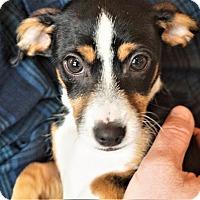 Adopt A Pet :: Milan - Seattle, WA