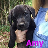 Adopt A Pet :: Amy - Shaw AFB, SC