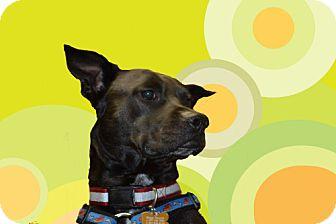 Carolina Dog/Pit Bull Terrier Mix Dog for adoption in Southampton, Pennsylvania - MICKEY
