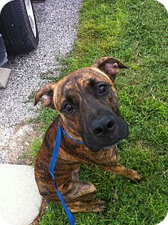 Great Dane/Boxer Mix Puppy for adoption in Orlando, Florida - Maverick