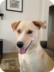 Golden Retriever/Wirehaired Fox Terrier Mix Dog for adoption in Madison, Wisconsin - Madilyn
