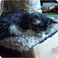 Adopt A Pet :: Cleo - Hampton, CT