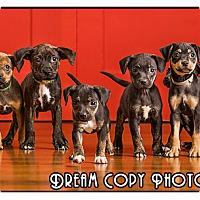 Adopt A Pet :: Boston Mix Puppies - Owensboro, KY