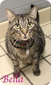 Domestic Shorthair Cat for adoption in Bradenton, Florida - Bella