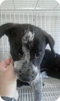 Blue Heeler/Labrador Retriever Mix Puppy for adoption in Mantua, New Jersey - Blu