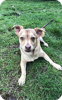 Dachshund/Chihuahua Mix Dog for adoption in Tumwater, Washington - Frankie