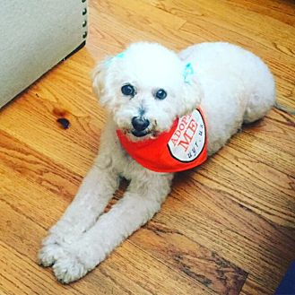 Poodle (Miniature) Dog for adoption in Long Beach, California - Lulu