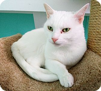 Domestic Shorthair Cat for adoption in Fairfax, Virginia - Toby