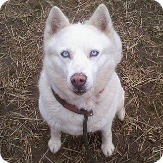 Siberian Husky Dog for adoption in Harvard, Illinois - Sugar