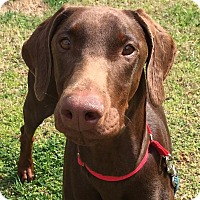 Adopt A Pet :: Venus - CUMMING, GA