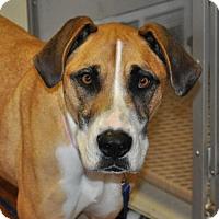 Boxer/Great Dane Mix Dog for adoption in Prosser, Washington - Lyndee