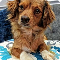 Chihuahua/Dachshund Mix Dog for adoption in Arlington, Virginia - Lizzie - NO LONGER ACCEPTING APPLICATIONS!