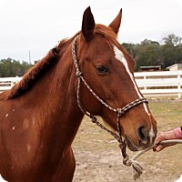 Adopt A Pet :: Dixie (Horse) - Freeport, FL