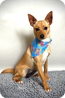 Chihuahua/Terrier (Unknown Type, Small) Mix Puppy for adoption in Kerrville, Texas - Bree