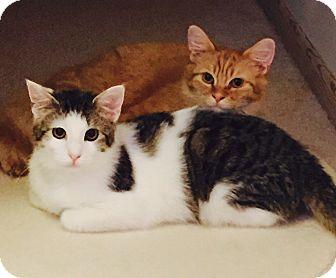 Domestic Shorthair Cat for adoption in Greensburg, Pennsylvania - Prince