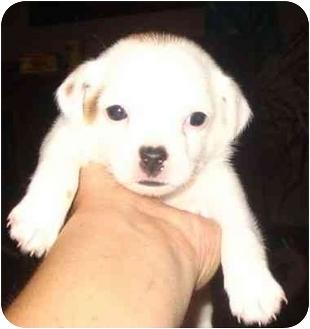 Jack Russell Terrier/Rat Terrier Mix Puppy for adoption in Upper Marlboro, Maryland - ELIZABETH