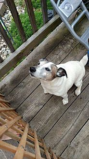 Jack Russell Terrier Dog for adoption in Blue Bell, Pennsylvania - Bandit