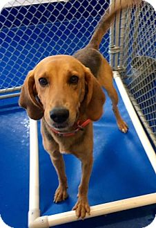 Redbone Coonhound Mix Dog for adoption in New Kent, Virginia - Eli
