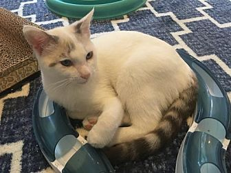 Siamese Kitten for adoption in Austin, Texas - Herbie