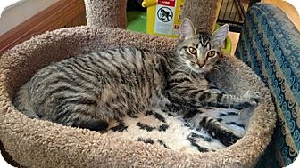 Domestic Shorthair Kitten for adoption in Hanna City, Illinois - Stormcloud-adoption pending