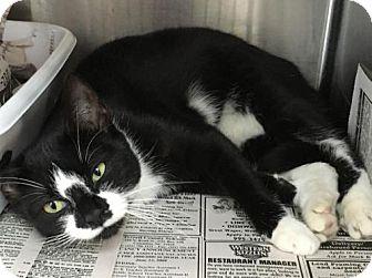 Domestic Shorthair Cat for adoption in Manteo, North Carolina - Francis