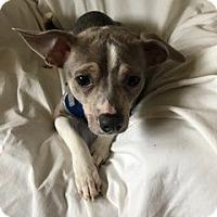 Adopt A Pet :: Blue - Avon, NY