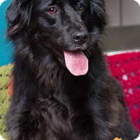 Flat-Coated Retriever Mix Dog for adoption in Evansville, Indiana - Emma