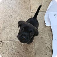 Adopt A Pet :: Ollie - Youngsville, NC