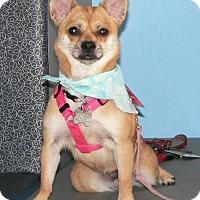 Adopt A Pet :: FOXY BELLA - Fort Lauderdale, FL
