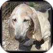 Basset Hound Dog for adoption in Marietta, Georgia - Primrose