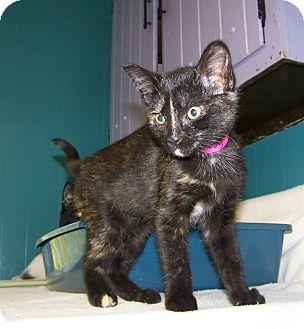 Domestic Shorthair Kitten for adoption in Dover, Ohio - Turvy