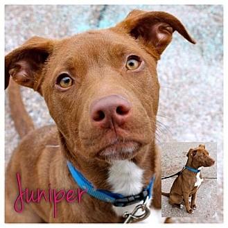 American Pit Bull Terrier/Labrador Retriever Mix Puppy for adoption in Garden City, Michigan - Juniper