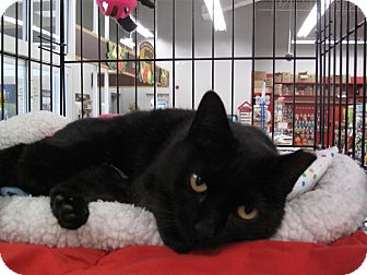 Domestic Shorthair Cat for adoption in Port Republic, Maryland - Sweetheart