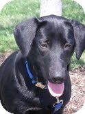 Labrador Retriever Mix Dog for adoption in Salem, Massachusetts - Dolly