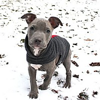 Adopt A Pet :: Litter of blue male puppies - Reisterstown, MD