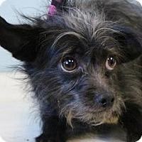 Adopt A Pet :: Oscar the Girl - Shawnee Mission, KS