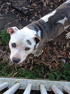American Bulldog/American Pit Bull Terrier Mix Dog for adoption in Demopolis, Alabama - Champ