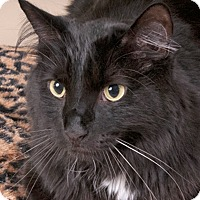 Domestic Mediumhair Cat for adoption in Chicago, Illinois - Percy
