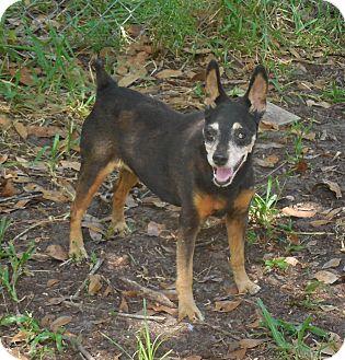 Miniature Pinscher Mix Dog for adoption in Ormond Beach, Florida - Katy