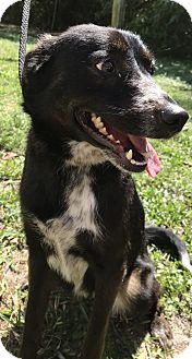 Border Collie Mix Dog for adoption in Boca Raton, Florida - Kay