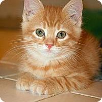Adopt A Pet :: Shea - Arlington, VA