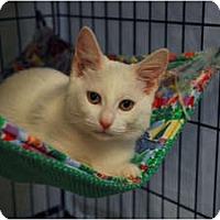 Adopt A Pet :: Bo Peep #2 - Lunenburg, MA