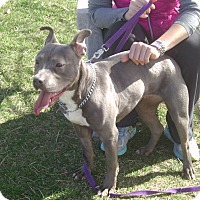 Pit Bull Terrier Mix Dog for adoption in Muscatine, Iowa - Remi
