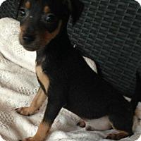 Adopt A Pet :: Samson - Boston, MA