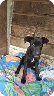 Labrador Retriever/Hound (Unknown Type) Mix Puppy for adoption in Burlington, Vermont - Monet