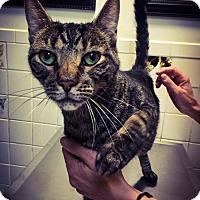 Domestic Shorthair Cat for adoption in New York, New York - Corbin