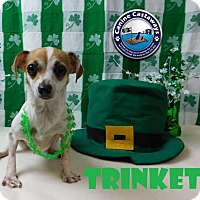 Jack Russell Terrier/Dachshund Mix Dog for adoption in Arcadia, Florida - Trinket